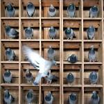 как-голуби-150x150